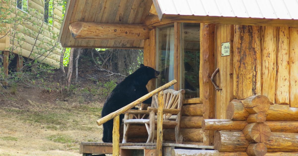 bear wildlife