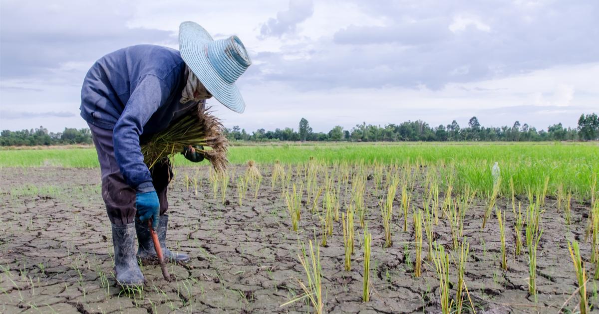 North Korea drought farm