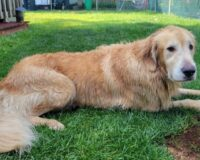 'Chunk' the Golden Retriever Missing for 2 Weeks Finally Found by NJ Troopers Swimming in the Bay