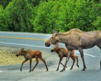 MUST SEE:  Brave Alaskan Helps Baby Moose Navigate Highway Barrier