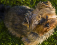 WATCH:  Tiny Pup Protects 12 Year-Old Owner from Vicious Wild Animal
