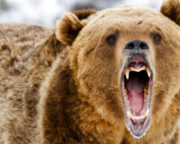 After Week-Long Battle with Grizzly Bear, Man Rescued From Alaskan Bush
